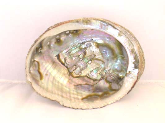 Abalone Shell 5 - 6 inches
